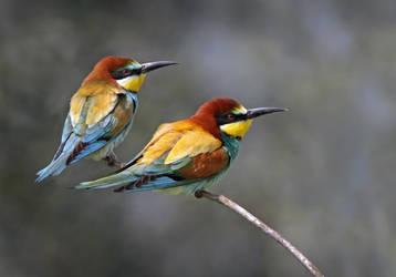 European Bee-eaters by Jamie-MacArthur