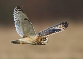 short eared owl by Jamie-MacArthur