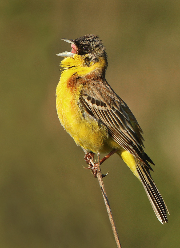 Black- headed Bunting by Jamie-MacArthur