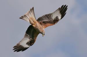 Red Kite by Jamie-MacArthur
