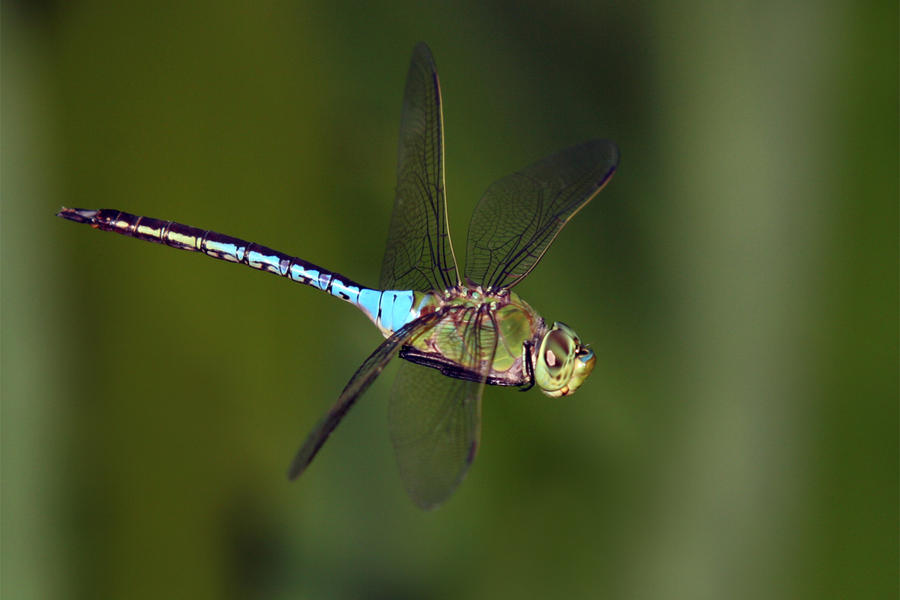 Migrant Hawker by Jamie-MacArthur