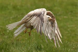 Leucistic White kite - wild