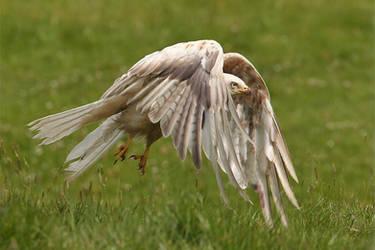 Leucistic White kite - wild by Jamie-MacArthur