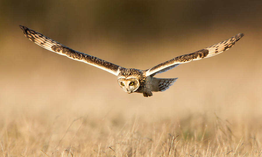 The Deviant !!! - Short-eared Owl