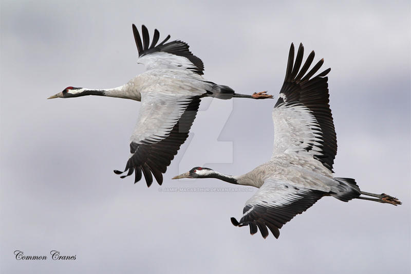 Common Cranes in Tandem by Jamie-MacArthur