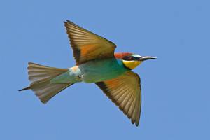 European Bee-eater by Jamie-MacArthur