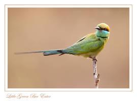 Little-green Bee-eater by Jamie-MacArthur