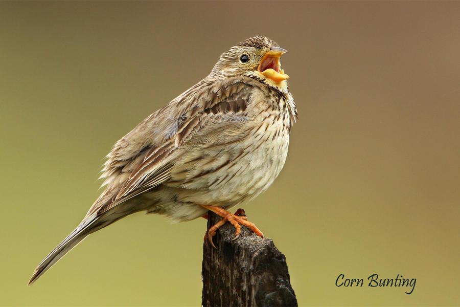 Singing Corn Bunting by Jamie-MacArthur