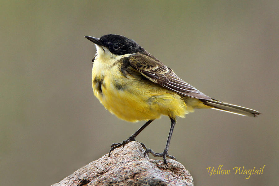 King of the rock - black-headed yellow wagtail by Jamie-MacArthur