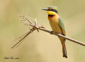 Just Chilling - Little bee-eater by Jamie-MacArthur