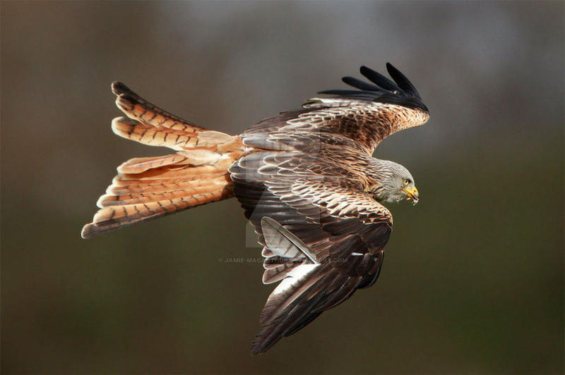 Red Kite by Jamie-MacArthur