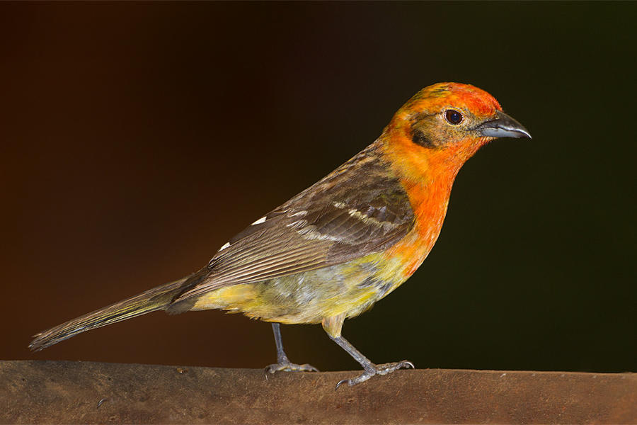 Flame-throated Tanager by Jamie-MacArthur