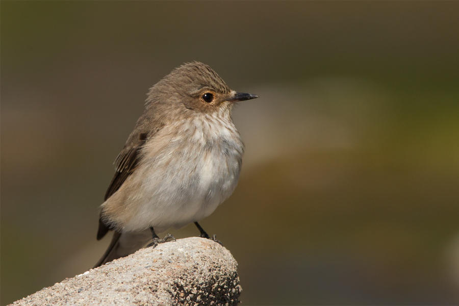 Spotted Flycatcher by Jamie-MacArthur