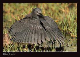 My Umbrella - Black Heron by Jamie-MacArthur