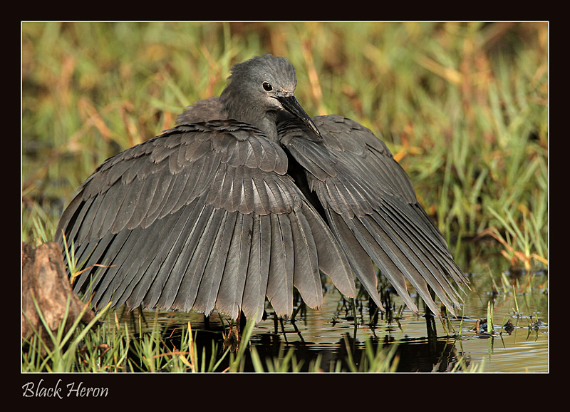 My Umbrella - Black Heron by Jamie-MacArthur
