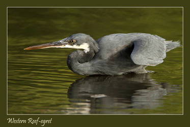 Poised to pounce- Western Reef Egret by Jamie-MacArthur