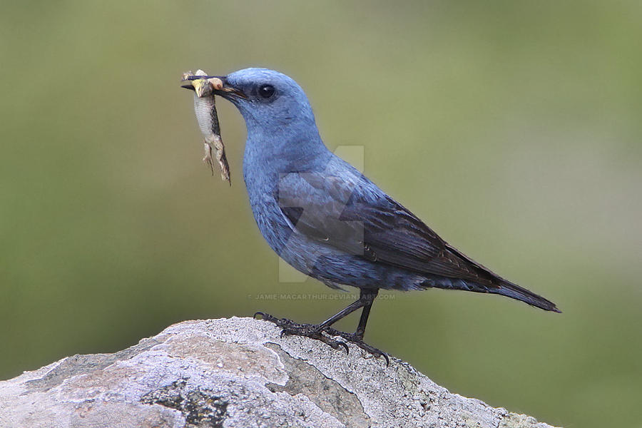 nom nom - Blue Rockthrush with lizard by Jamie-MacArthur