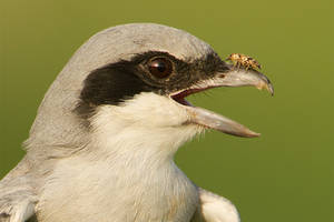 Oye stop bugging me - southern grey shrike and bug by Jamie-MacArthur