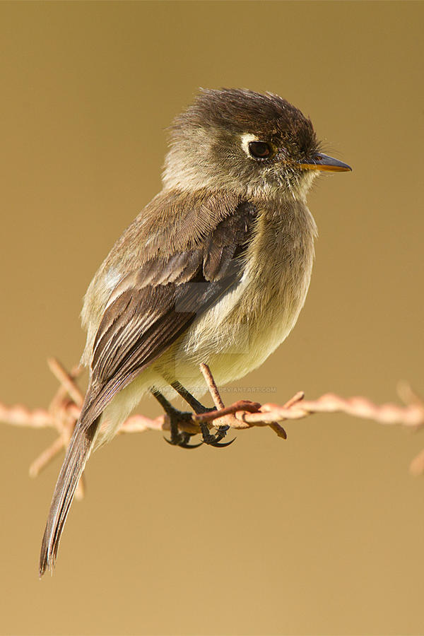 Black-capped Flycatcher by Jamie-MacArthur
