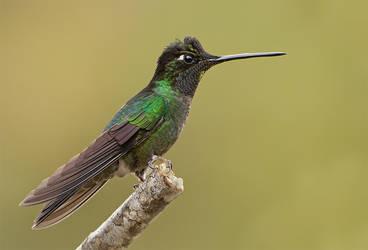 Magnificent Hummingbird by Jamie-MacArthur