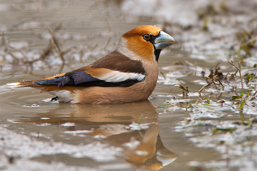 Bath time - Hawfinch by Jamie-MacArthur