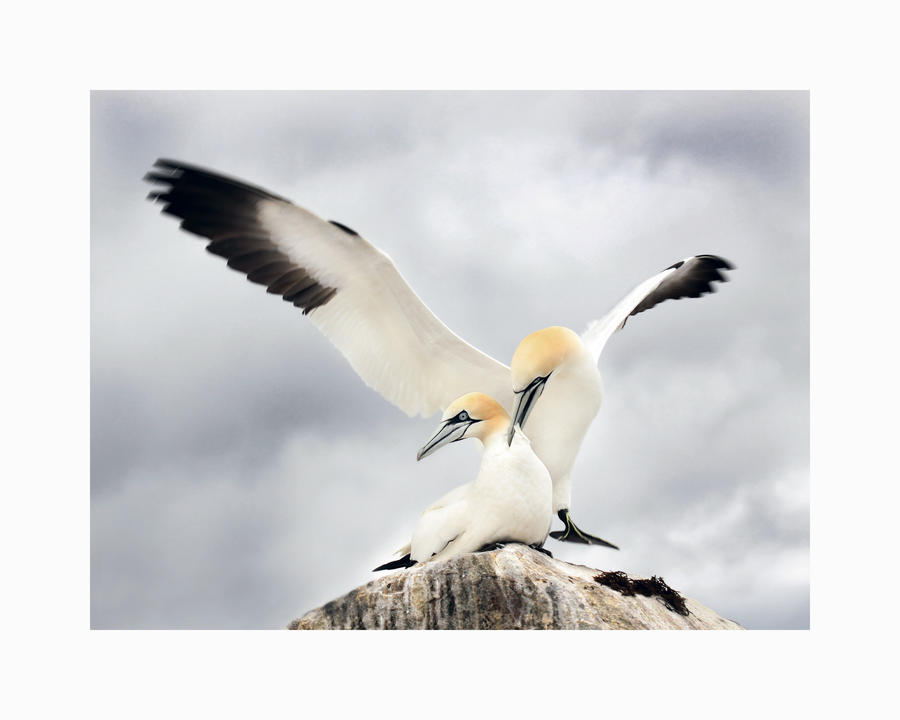 Love hurts -  Northern Gannets in courtship by Jamie-MacArthur