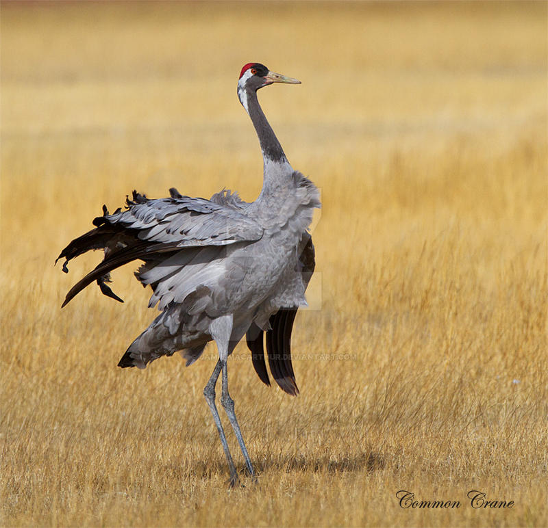 Ostracized - common crane by Jamie-MacArthur