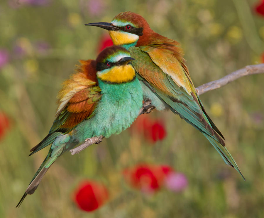 European bee eater size - photo#12