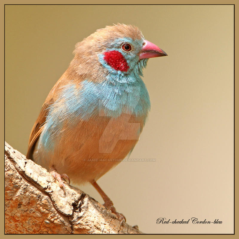 too much 'blusher' - Red-cheeked Cordon-bleu by Jamie-MacArthur