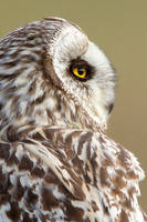 Day dreaming - Short-eared owl by Jamie-MacArthur
