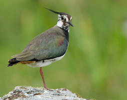 Top hat and Tails  -  Lapwing by Jamie-MacArthur