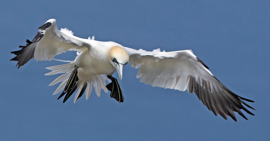 Dropping in - Northern Gannet by Jamie-MacArthur