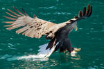 Dive in - White tailed Eagle
