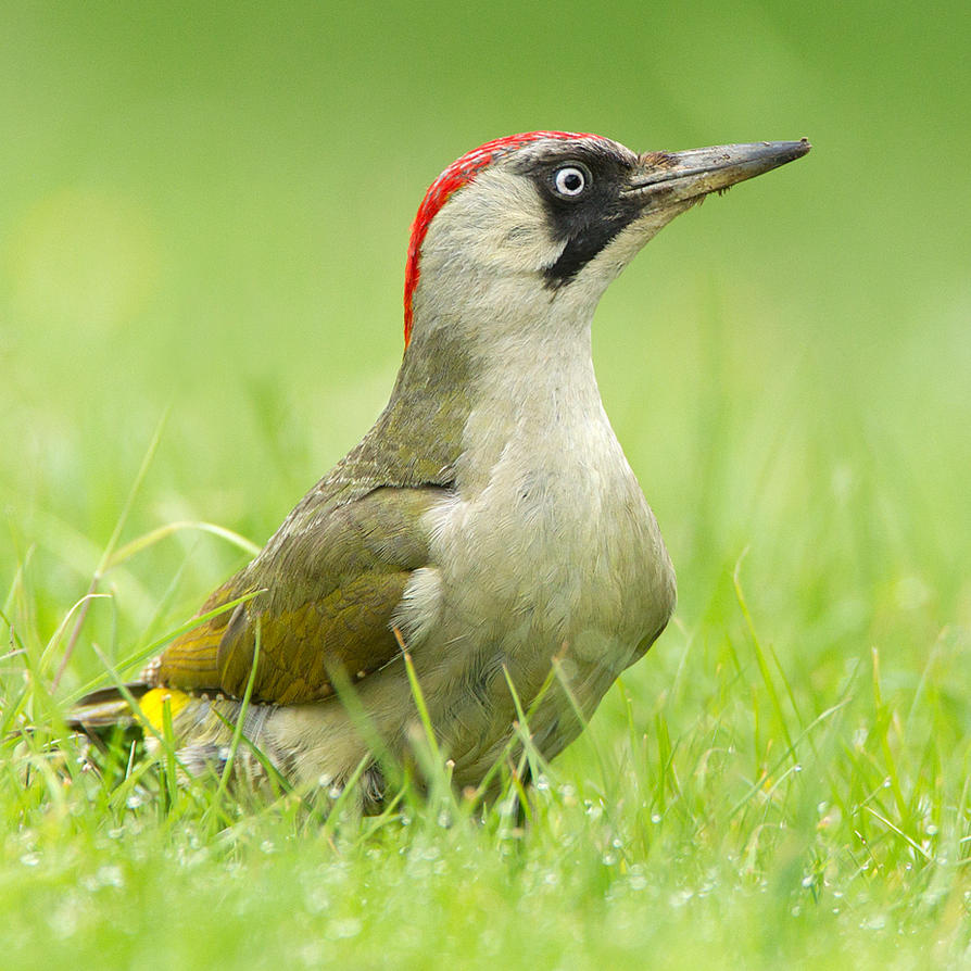 Everything's gone green - Green Woodpecker by Jamie-MacArthur