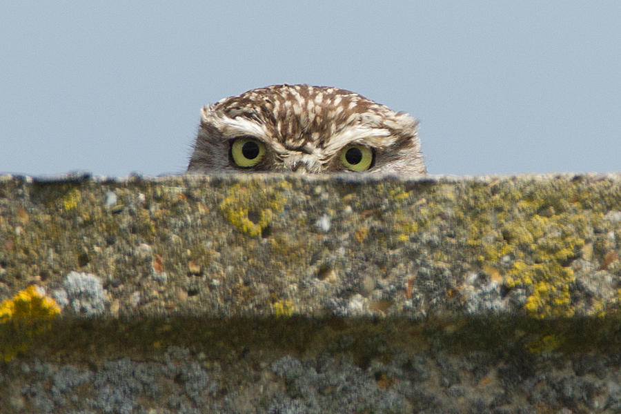 i__m_watching_you___little_owl_by_jamie_