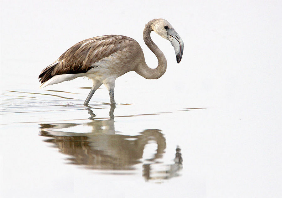 tranquil morning - juvenile greater flamingo by Jamie-MacArthur