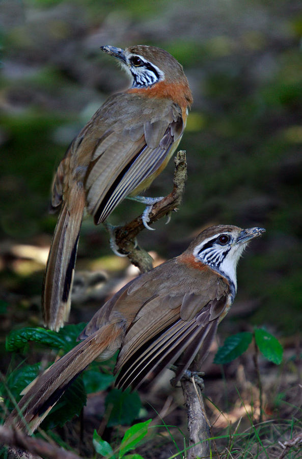 two of a kind - Greater Necklaced Laughing-thrush by Jamie-MacArthur