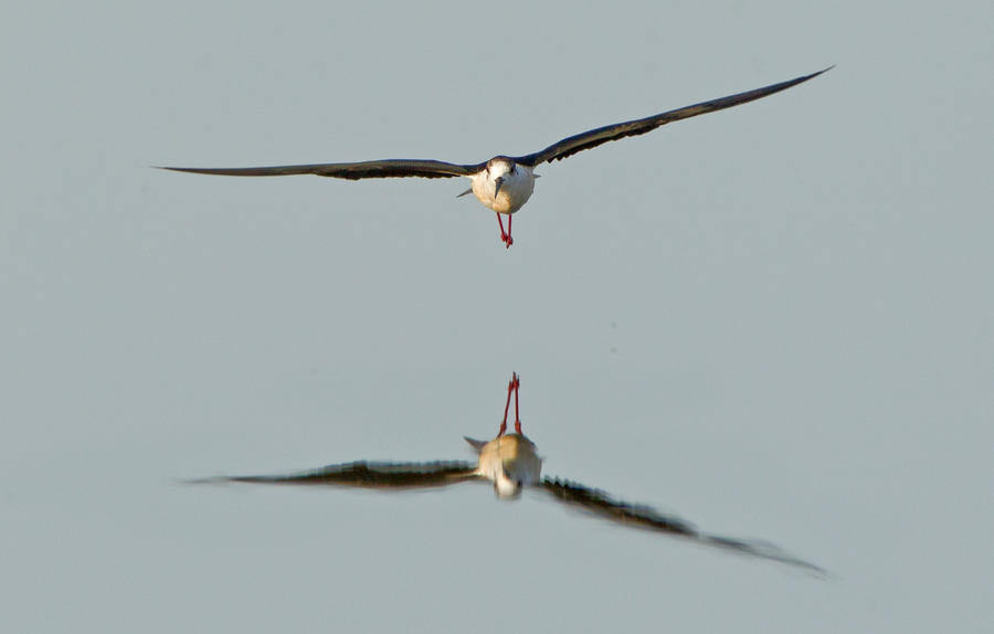 So peaceful, until  the black winged stilt arrived by Jamie-MacArthur