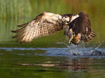 Pure Energy- Osprey with rainbow trout
