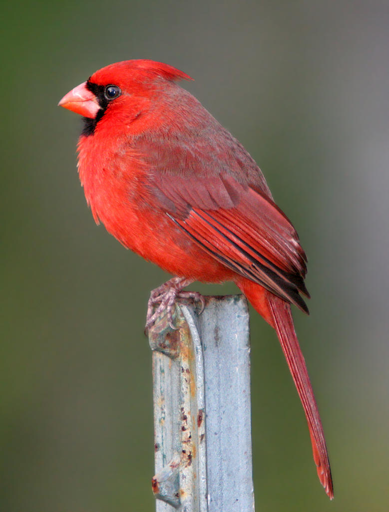 Lonesome fellow - Red Cardinal by Jamie-MacArthur