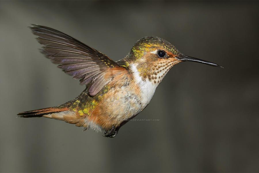 Scintillant Hummingbird - female by Jamie-MacArthur