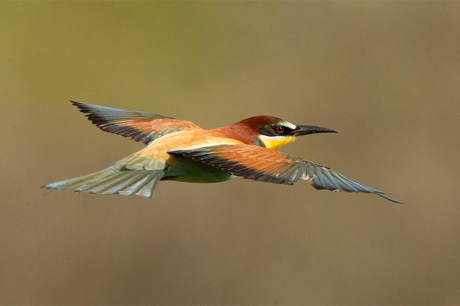 Bee hunting - European Bee-eater by Jamie-MacArthur