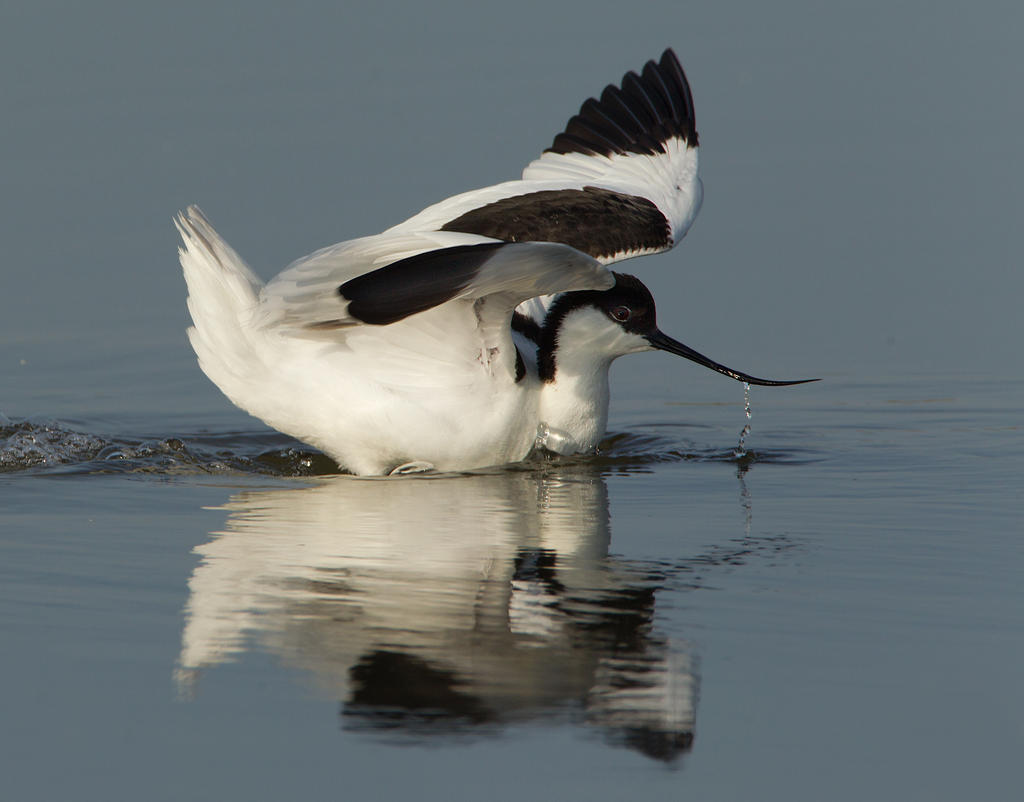 Rippled Glass Reflections - Avocet by Jamie-MacArthur