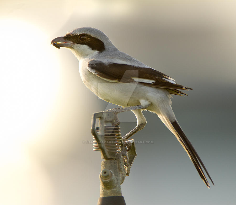 Beyond the light - Southern Grey Shrike by Jamie-MacArthur