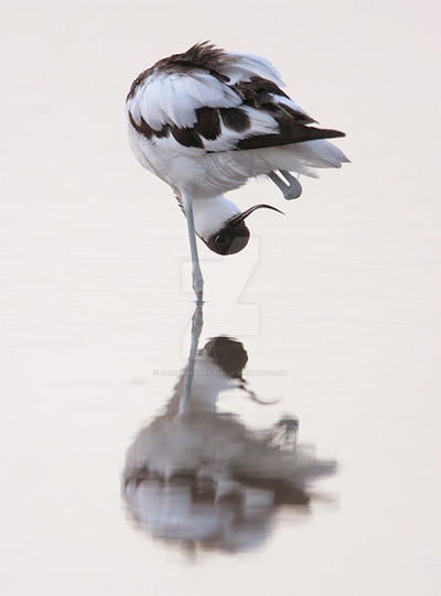 Oh there's my other leg - Avocet by Jamie-MacArthur