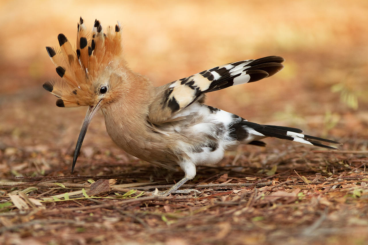 Startled !!!   - Hoopoe by Jamie-MacArthur