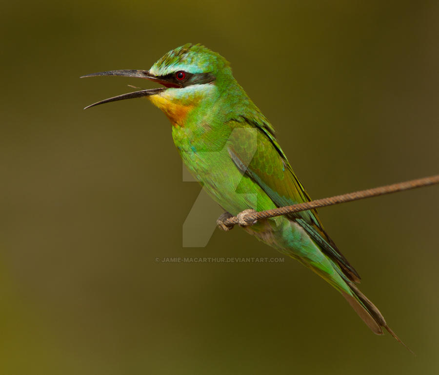 The end of the line- blue-cheeked Bee-eater by Jamie-MacArthur