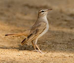 Chest out, wings back - Rufous-tailed bush-robin