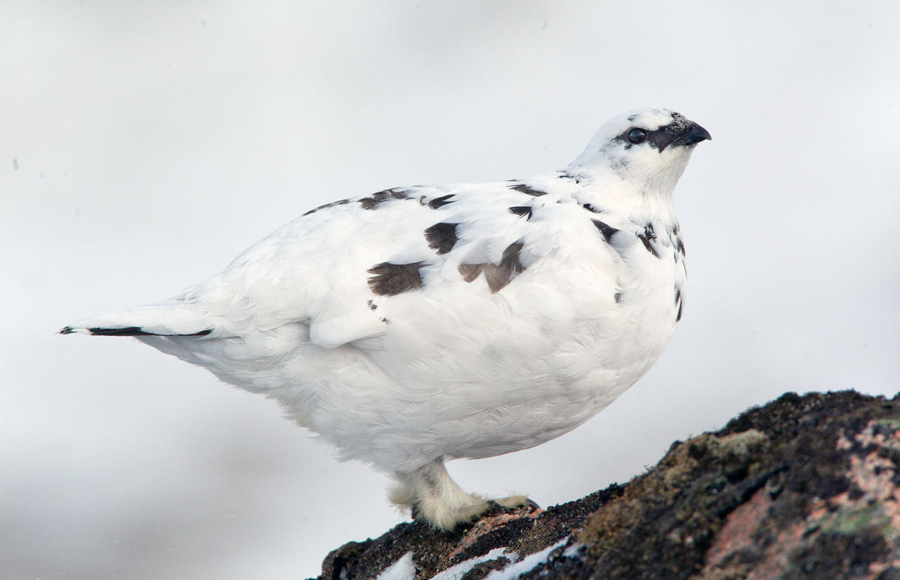 The icing on the cake - Ptarmigan by Jamie-MacArthur