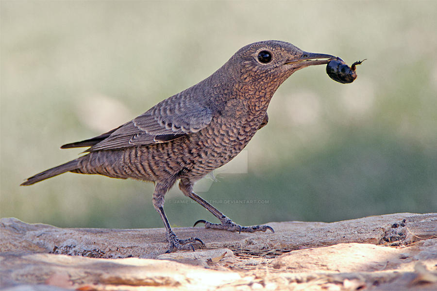 I'm into the Beatles - Blue Rock Thrush by Jamie-MacArthur